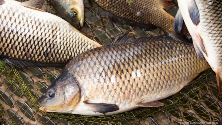 Biologists use huge nets in Mississippi River to remove carp